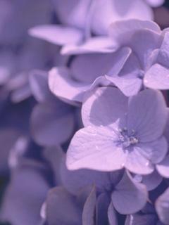 紫陽花の恋